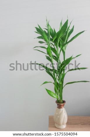 Dracaena sanderiana with green leaves, Home decor #1575504094