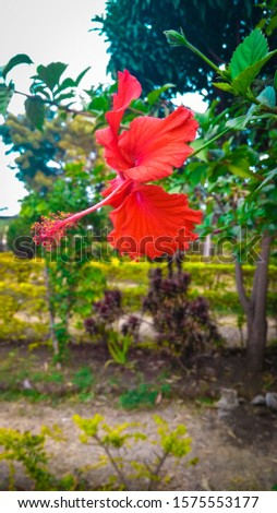 this is the flower of Hibiscus. the flower of Hibiscus very beautiful.  #1575553177