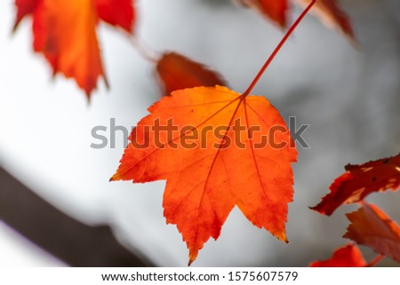 Colorful leaves in autumn and fall shine bright in the backlight and show their leaf veins in the sunlight with orange, red and yellow colors as beautiful side of nature in the cold season #1575607579
