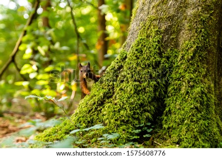 squirrel peaking around tree trunk #1575608776
