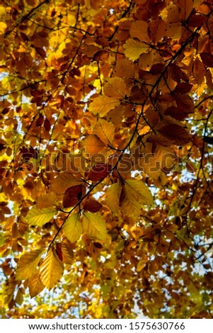 Detail of copper coloured beech leaves in the Autumn #1575630766