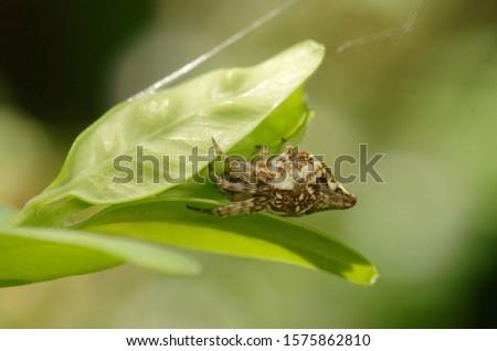 A small orb weaver spider with a strange body shape, Cyclosa conica (Family Araneidae) #1575862810