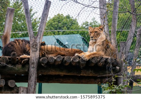 resting lioness resting in the zoo #1575895375