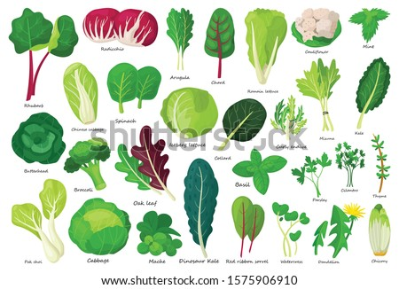 Vegetable lettuce cartoon vector icon.Illustration of isolated cartoon icon vegetable salad . Vector illustration set lettuce leaf and cabbage. #1575906910