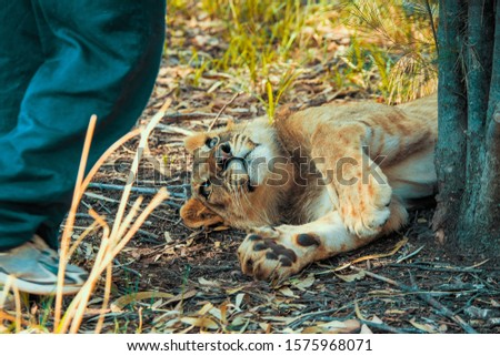 Close-up of a 8 month old junior lion (Panthera leo) lying on the ground next to the feet of a ranger and interacting with him - Colin's Horseback Africa, Cullinan, South Africa #1575968071