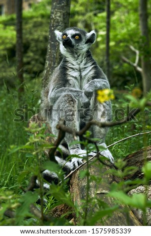 Ring-tailed lemurs (Lemur catta) are the most easily recognizable species of lemur and the most intensely studied. #1575985339