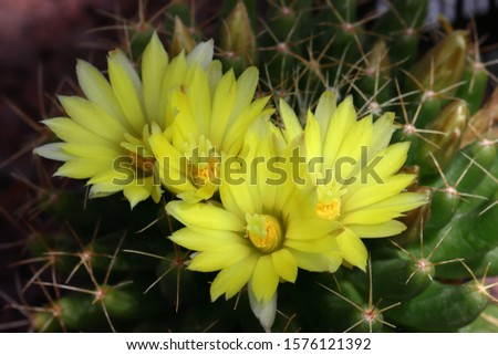Mammillaria longimamma: At first solitary, but clustering very young and forming dense clusters to 15 cm or more broad. With 10-30(-50) branches. #1576121392
