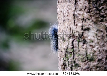 Beautiful black and white furry caterpillar on dry wooden beam in the garden Black caterpillars climb on the ground. It has white fur. #1576168396