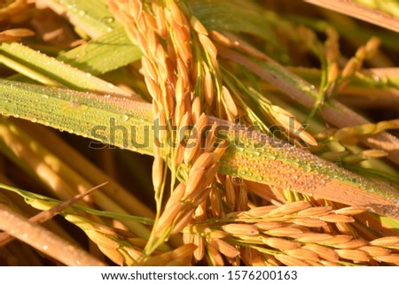 this pic shows golden rice grain with leaves and water drops on warm light at morning time