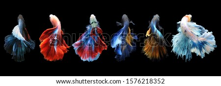 Betta fish, siamese fighting fish, betta splendens isolated on black background, fish on black background, Multi color Siamese fighting fish, #1576218352