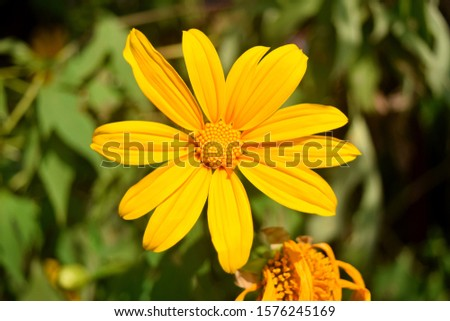 this pic shows the mexican sunflower has yellow color with green leaves