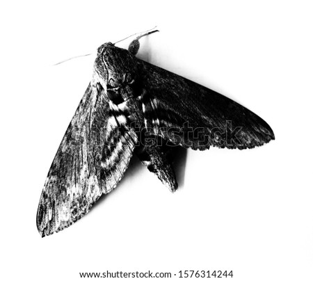 Picture of a moth that makes a black tone, white background