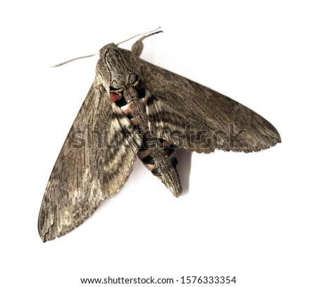 Picture of a moth on a white background
