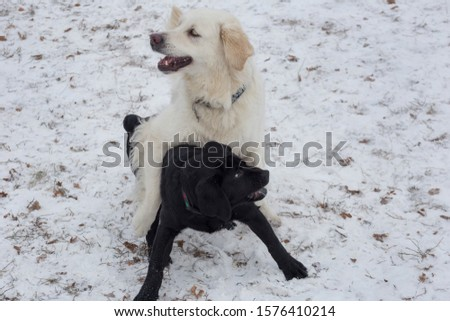 Cute golden retriever and labrador retriever puppy are playing on a white snow in the winter park. Pet animals. #1576410214