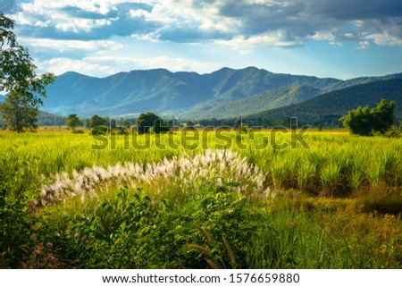 Beautiful countryside view of sugar cane farm with group of reed blooming on the hill, Thong Saen Khan district, Uttaradit, Thailand #1576659880
