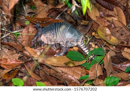 Armadillo photographed in Linhares, Espirito Santo. Southeast of Brazil. Atlantic Forest Biome. Picture made in 2014.