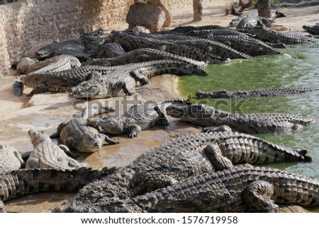 Crocodiles gathered for feeding, they are waiting for food. Crocodiles in the pond and go on land. Crocodile farm. Cultivation of crocodiles. Crocodile sharp teeth. #1576719958