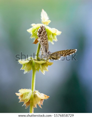 macro of a geranium bronze butterfly (cacyreus marshalli) on faded basil plant; as natural predators are missing in europe pest control is possible only through insecticides #1576858729