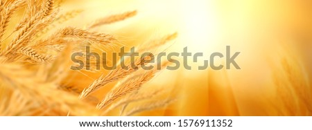 image of wheat in the field on blurred background close-up #1576911352