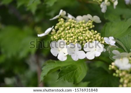Viburnum, a genus of woody flowering plants Adoxaceae. Useful tree plant. Home garden, flower bed. Medicinal fruits. White flowers #1576931848
