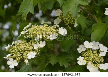 Viburnum, a genus of woody flowering plants Adoxaceae. Useful tree plant. Medicinal fruits. Home garden, flower bed. Red berries. Tea, syrup, jam. White flowers #1576931953
