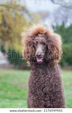 Portrait of a groomed furry adorable brown hair standard poodle in a park #1576949965
