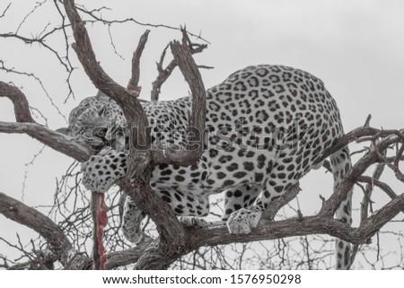 Leopard in the kalahari desert, Namibia, Africa #1576950298