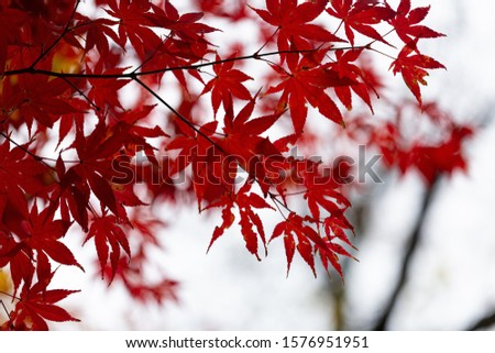 Branches with red maple leaves in autumn #1576951951
