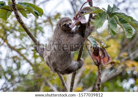 Sloth photographed in Linhares, Espirito Santo. Southeast of Brazil. Atlantic Forest Biome. Picture made in 2014.