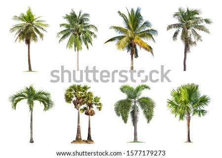 Coconut and palm trees Isolated tree on white background , The collection of trees.Large trees are growing in summer, making the trunk big. #1577179273