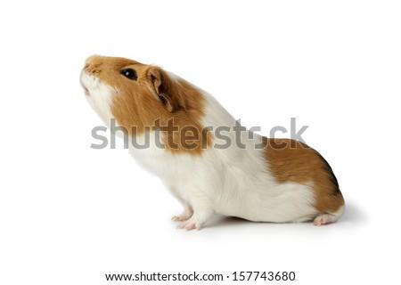Single nosy guinea pig isolated on white background #157743680