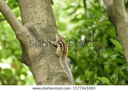 A striped rodents marmots chipmunks squirrel (Sciuridae arboreal species of flying squirrels family) spotted on a tree trunk on hunting mood. Animal behavior themes. Animals in the wild background. #1577661883