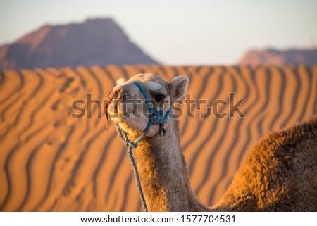 Camel ride through the desert of Zahora (Morocco) #1577704531