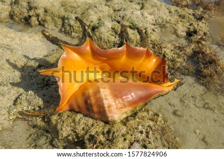 Giant spider conch shell, Lambis Lambis, marine gastropod mollusk underwater, alive specimen. Red Sea, Egypt. Common Spider Conch lying on sea coral in shallow water in the light of the sun's rays. #1577824906