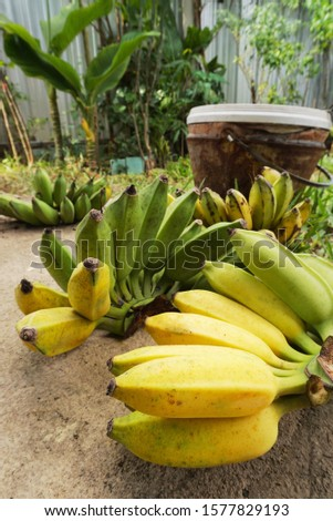 Raw Bananas obtained from harvesting in the garden vertical background. #1577829193