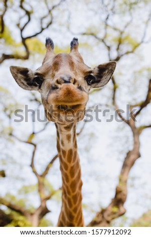 against the sky and leaves of trees - giraffe in the zoo. The giraffe's head. Spots #1577912092