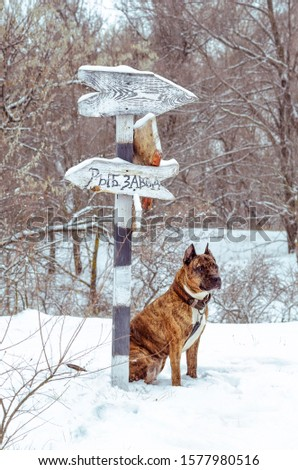 Photo of a red Staffordshire terrier on the background of a sign board in a winter park. On the pointer Russian inscription Fish factory #1577980516