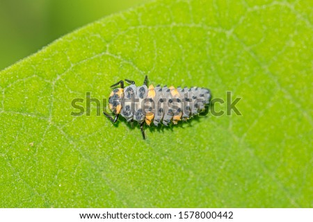 The larva of Coccinella septempunctata, the seven-spot ladybird is the most common ladybird in Europe. Larva a ladybird (Coccinella septempunctata) in the natural environment, close-up. #1578000442