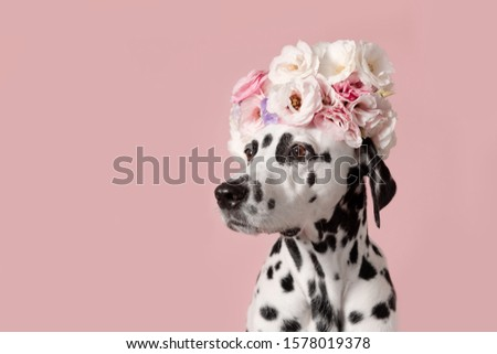 Adorable dalmatian dog with wreath on pink background. Dog portrait with floral crown. I love you. Happy Valentines Day concept Royalty-Free Stock Photo #1578019378
