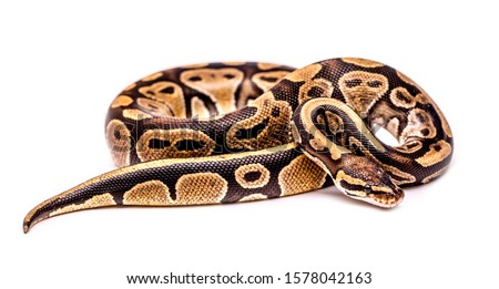 Close-up snake on a white background isolated. Snake boa constrictor. Reptile exotic animal. Royalty-Free Stock Photo #1578042163