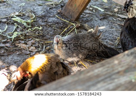 Davie, FL / USA - 11/10/2019 : Family Farms - Chickens feeding on corn from a picnic at the local u-pick in the suburbs of Broward County Florida #1578184243
