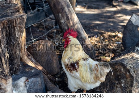 Davie, FL / USA - 11/10/2019 : Family Farms - Chickens feeding on corn from a picnic at the local u-pick in the suburbs of Broward County Florida #1578184246