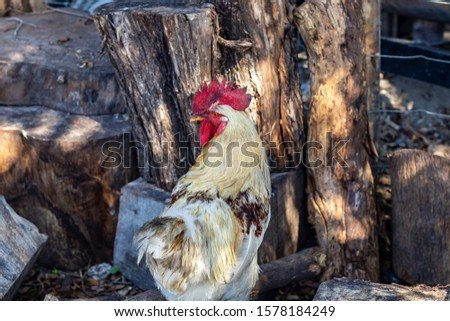 Davie, FL / USA - 11/10/2019 : Family Farms - Chickens feeding on corn from a picnic at the local u-pick in the suburbs of Broward County Florida #1578184249