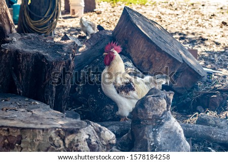 Davie, FL / USA - 11/10/2019 : Family Farms - Chickens feeding on corn from a picnic at the local u-pick in the suburbs of Broward County Florida #1578184258