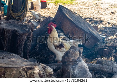 Davie, FL / USA - 11/10/2019 : Family Farms - Chickens feeding on corn from a picnic at the local u-pick in the suburbs of Broward County Florida #1578184261