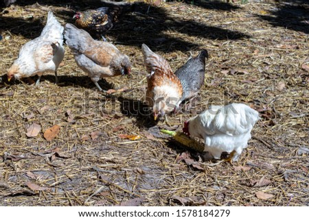 Davie, FL / USA - 11/10/2019 : Family Farms - Chickens feeding on corn from a picnic at the local u-pick in the suburbs of Broward County Florida #1578184279