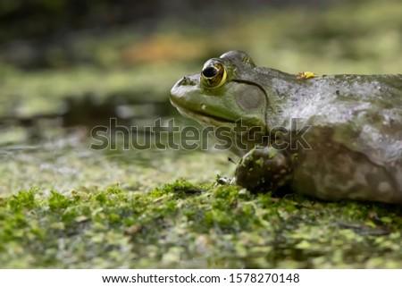American Bullfrog, Reeds Lake, Grand Rapids, Michigan #1578270148