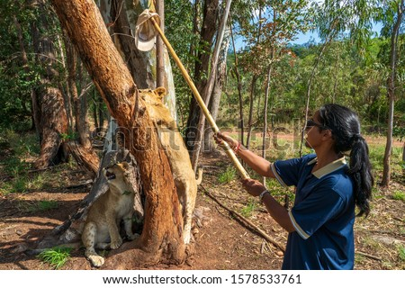 African woman teasing a 8 month old junior lion with a cap on a stick and provokes it to climb the tree, Colin's Horseback Africa Lodge, Cullinan, South Africa #1578533761