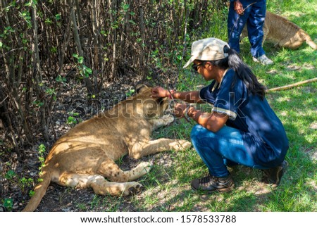 African woman sitting on the ground and touching, tickling and playing with 8 month old junior lion (Panthera leo), Colin's Horseback Africa Lodge, Cullinan, South Africa #1578533788