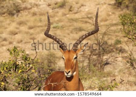 Standing Gazelle Posing Near View
